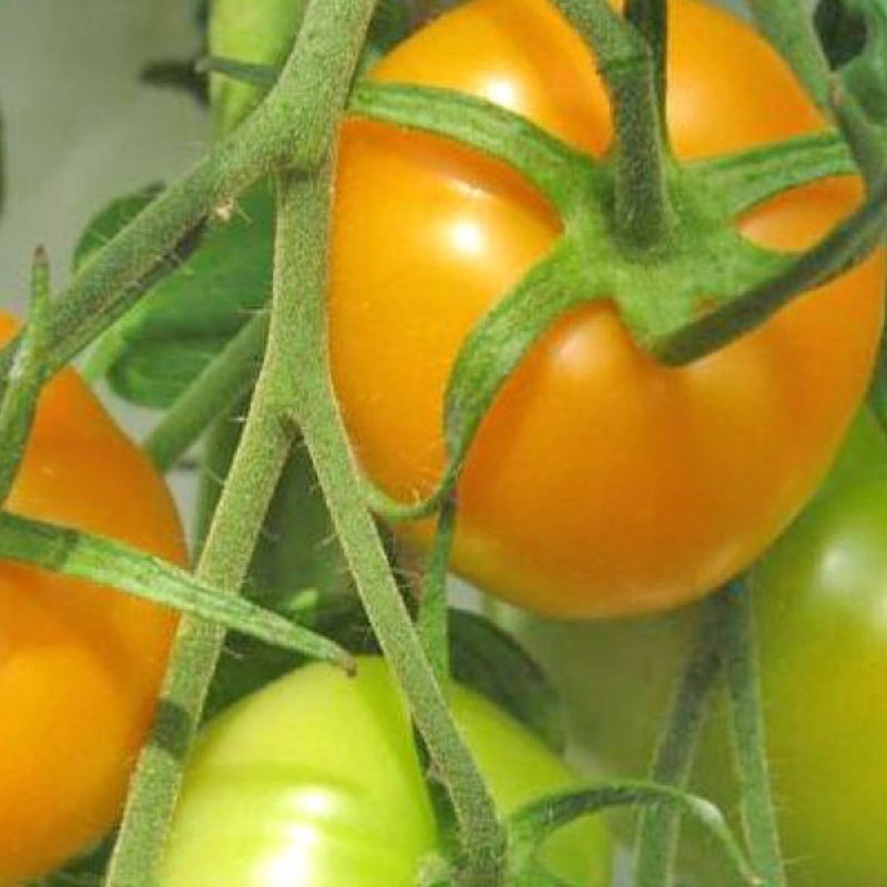 Tomate Jubilee Golden Orange